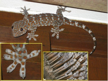 Gecko, Adhesion, how does gecko stick to the wall, lizard